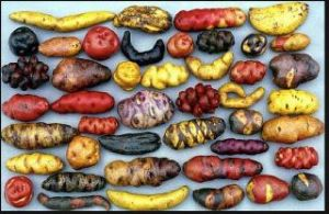Stunning Peruvian spuds. Peru just signed another 10 year ban on Monsanto. One of the few South American countries to stand strong.